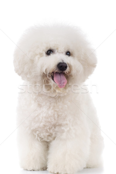 seated and panting bichon frise  Stock photo © feedough
