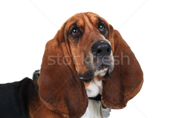 closeup picture of a cute basset hound  Stock photo © feedough