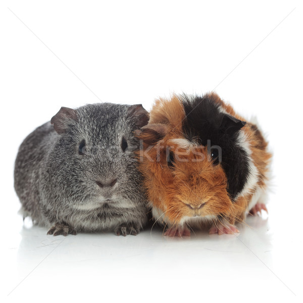 two lovely grey and brown with black guinea pigs Stock photo © feedough