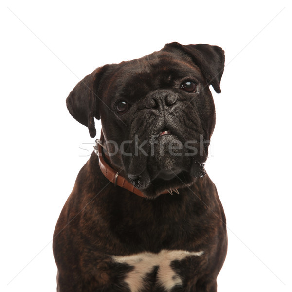 close up of adorable black boxer wearing a spiked collar Stock photo © feedough