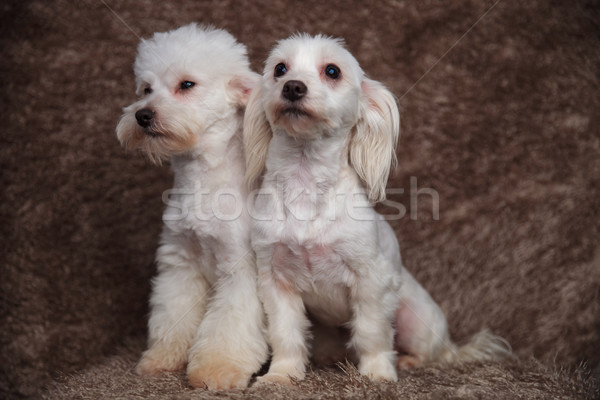 adorable bichon couple sitting looks up and to side Stock photo © feedough