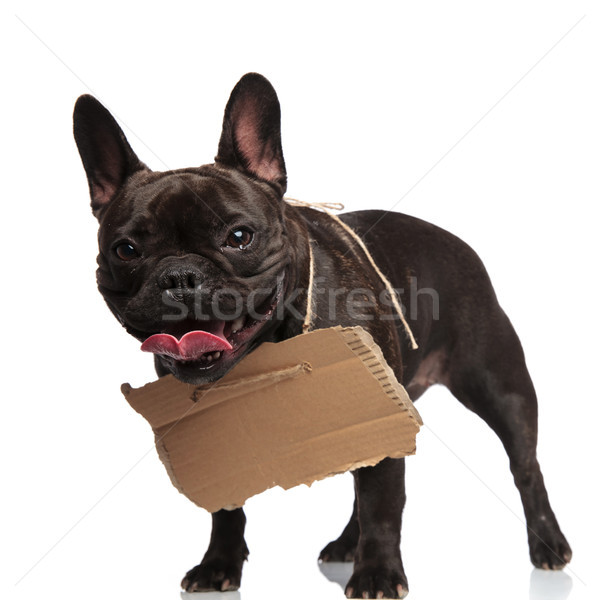 panting beggar french bulldog with carton sign around neck Stock photo © feedough