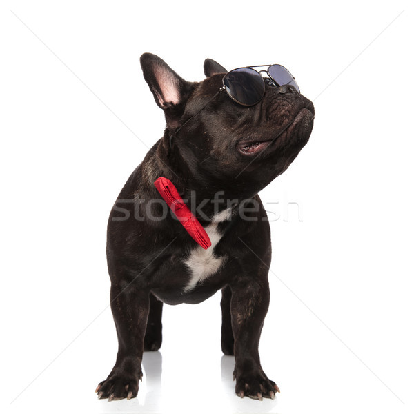 cool french bulldog wearing red bowtie looks up to side Stock photo © feedough