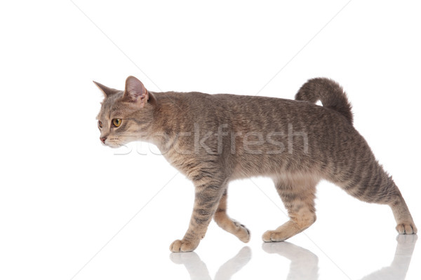 side view of grey metis cat walking to side Stock photo © feedough