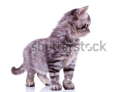 curious silver tabby cat Stock photo © feedough