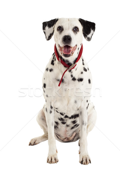 seated dalmatian  Stock photo © feedough