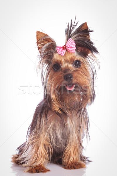 ülő kutyakölyök kutya néz kamera stúdió Stock fotó © feedough