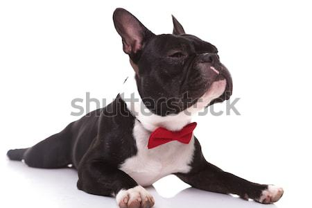 side of  french bulldog puppy wearing bow tie looking up  Stock photo © feedough