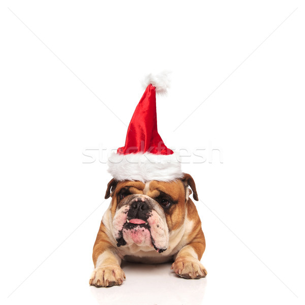 grumpy english bulldog santa sticking out his tongue Stock photo © feedough