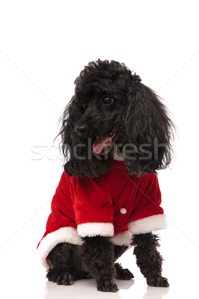 seated black poodle wearing santa costume looks to side  Stock photo © feedough