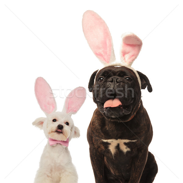 adorable bichon and boxer puppy dogs wearing bunny ears  Stock photo © feedough