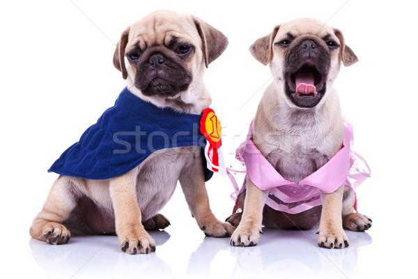 Stok fotoğraf: Prenses · şampiyon · köpek · yavrusu · köpekler · beyaz · bakıyor