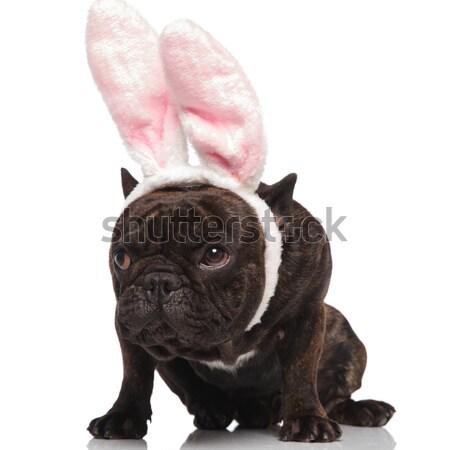 Adorable assis boxeur haletant lapin de Pâques paire Photo stock © feedough
