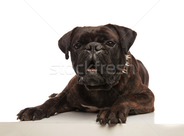 funny lying black boxer with spiked collar looking shocked Stock photo © feedough