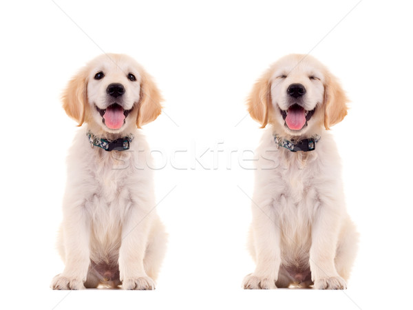 Deux émotionnel cute chiot haletant golden retriever Photo stock © feedough