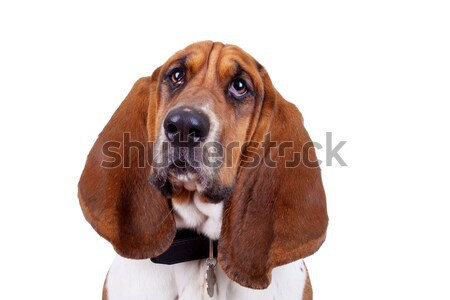 Basset hound dog face Stock photo © feedough