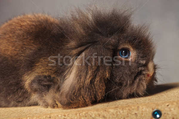 Side view picture of a adorable lion head rabbit bunny  Stock photo © feedough