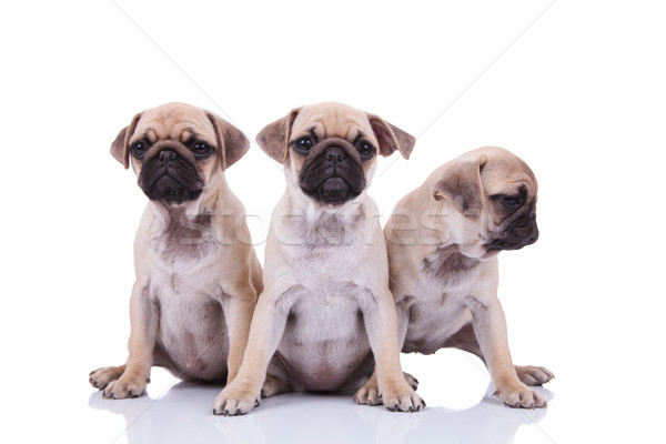 three cute seated pug puppies with one looking to side Stock photo © feedough