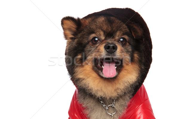 close up of cool pom with leather jacket and hat Stock photo © feedough