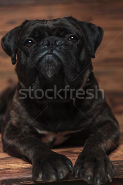 adorable black boxer relaxing Stock photo © feedough