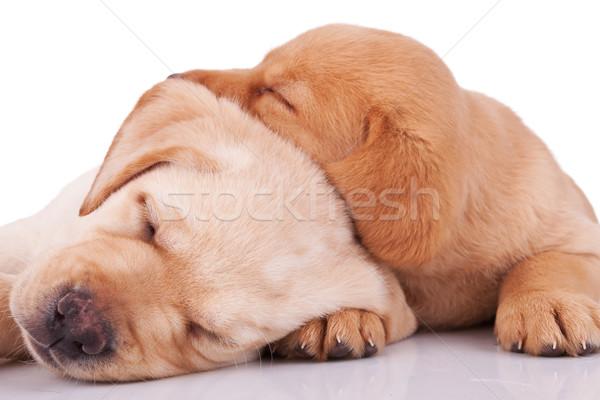 Stock fotó: Kicsi · labrador · alszik · kettő · imádnivaló · fehér