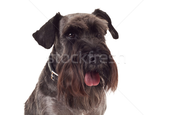 small black schnauzer face Stock photo © feedough