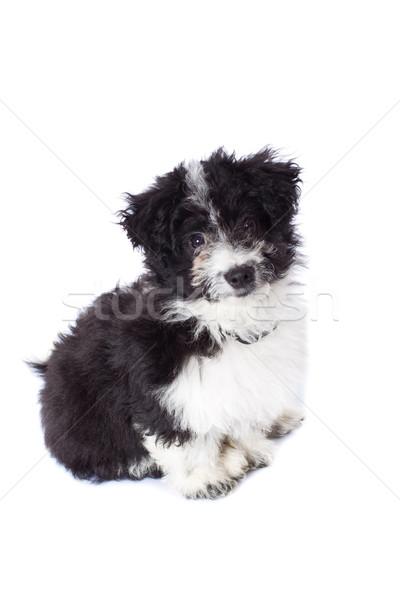 adorable black and white bichon sitting Stock photo © feedough