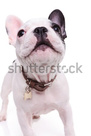 Stock photo: curious little french bulldog puppy looking up