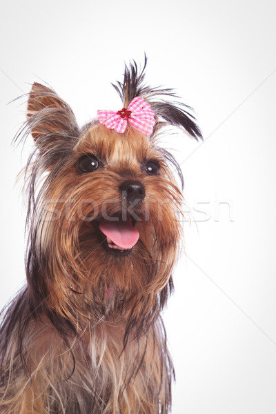 yorkshire terrier puppy dog looking up with mouth open Stock photo © feedough