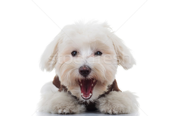 excited bichon puppy dog barking Stock photo © feedough