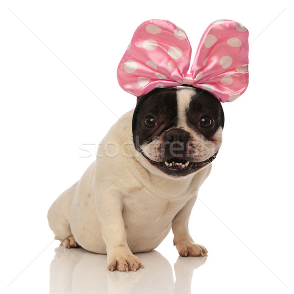 seated french bulldog is happy with his new accessory Stock photo © feedough