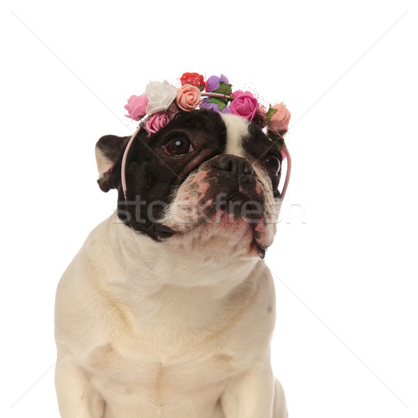 adorable french bulldog wearing colorful flowers looking up to s Stock photo © feedough