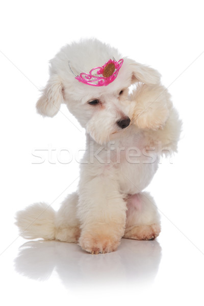 adorable bichon princess looking under its paw Stock photo © feedough