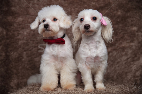 two furry bichons with bowties sit and look to side Stock photo © feedough
