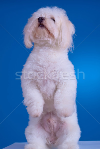 dog standing on his hind legs Stock photo © feedough