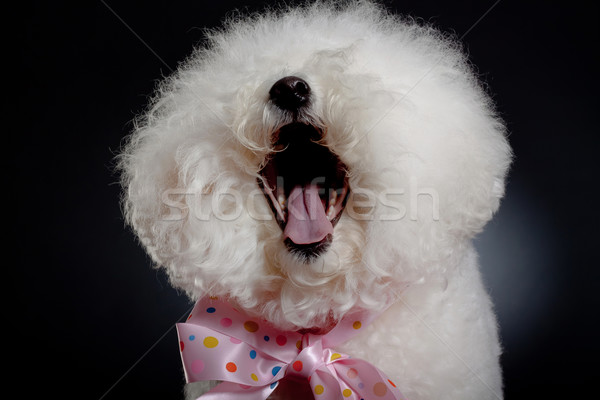 laughing bichon frise Stock photo © feedough