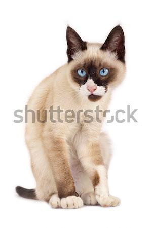 смешные глядя кошки сиамские кошки позируют камеры Сток-фото © feedough
