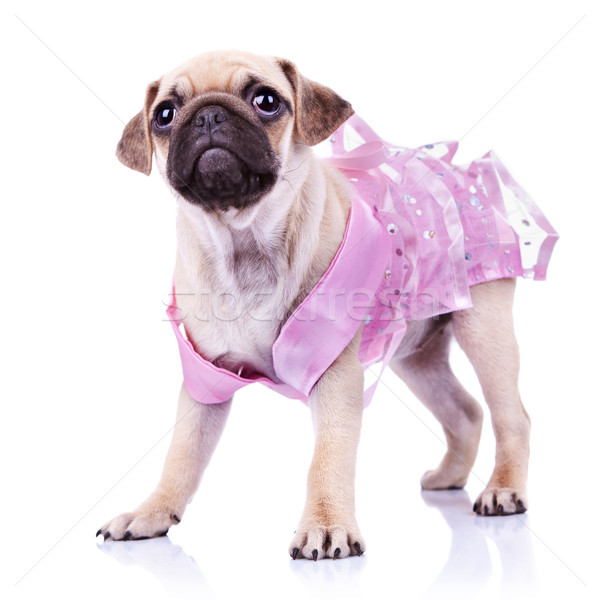 cute pug puppy in a pink dress Stock photo © feedough