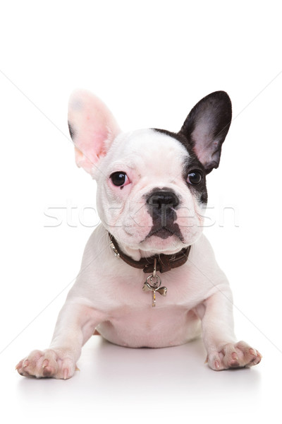 baby french bulldog puppy standing on its front paws Stock photo © feedough