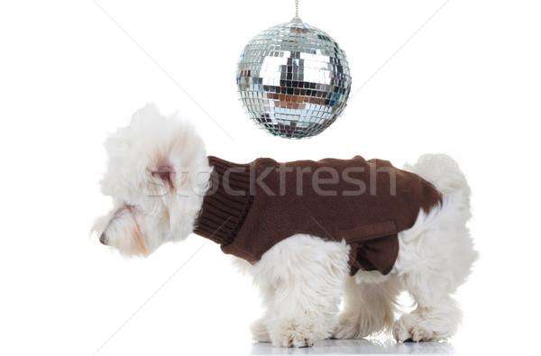 Disko köpek yavrusu dans beyaz köpek mutlu Stok fotoğraf © feedough