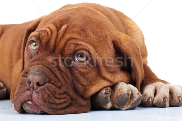 Yorgun küçük köpek yavrusu kafa pençeleri Stok fotoğraf © feedough