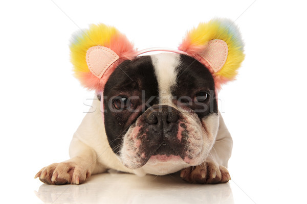 Stock photo: adorable french bulldog with colorful ears headband lying down