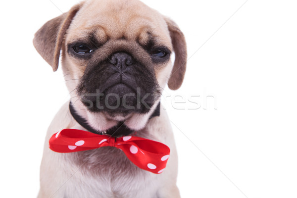 close up of crying pug wearing red bowtie with white dots Stock photo © feedough