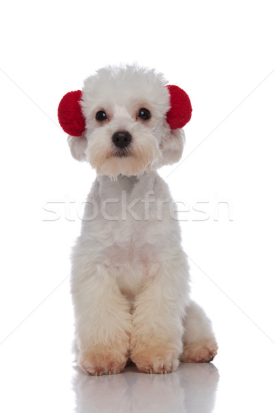 adorable seated white bichon wearing red earmuffs Stock photo © feedough