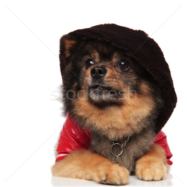 surprised pom with hoodie on head looks up to side Stock photo © feedough