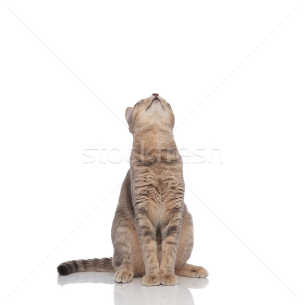 curious seated grey cat looks up Stock photo © feedough