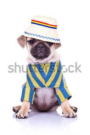 mops puppy dog with head turned Stock photo © feedough