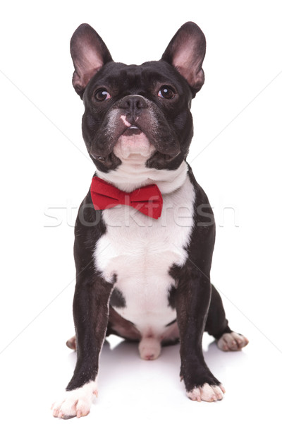 Stock photo: little french bulldog puppy dog with bow tie looking up