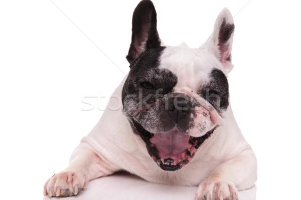 Bonitinho francês buldogue branco feliz Foto stock © feedough