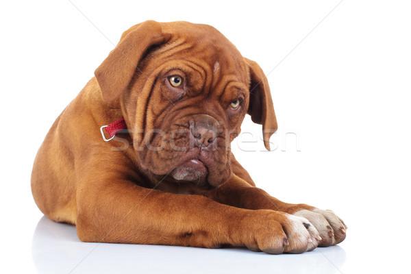 французский дог щенков собака Сток-фото © feedough